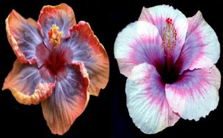 Hibiscus Hybrid Seeds Voodoo Queen x Moon Maiden