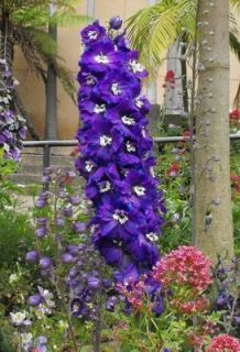 500 Purple Rocket Larkspur Delphinium Flower Seeds