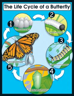 Life Cycle of A Butterfly Science Poster Chart New