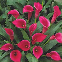 Calla Lily Bulbs Lipstick Nice Hot Pink Calla Lilies