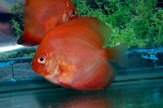 Tropical Fish Live Discus 3 Strains 6 Fish