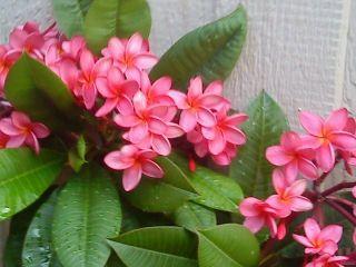 Hawaiian Grown Plumeria Cutting Mililani Multi Tipped 14