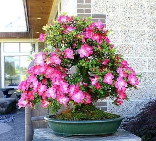 Newly listed Bonsai Tree Specimen Satsuki Azalea SAST 117A