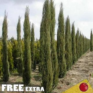 ITALIAN CYPRESS Cupressus Sempervirens Stricta   100+EXTRA seeds BULK